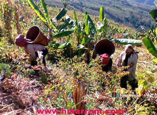 Women harvest ripe chili at a jhum farm in Hmar Hills.