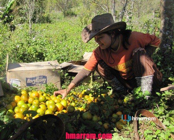 Orange harvest in Hmar Hills (Damdiei)