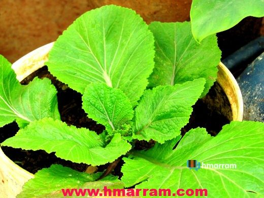 Anṭam (Musturd leaves)
