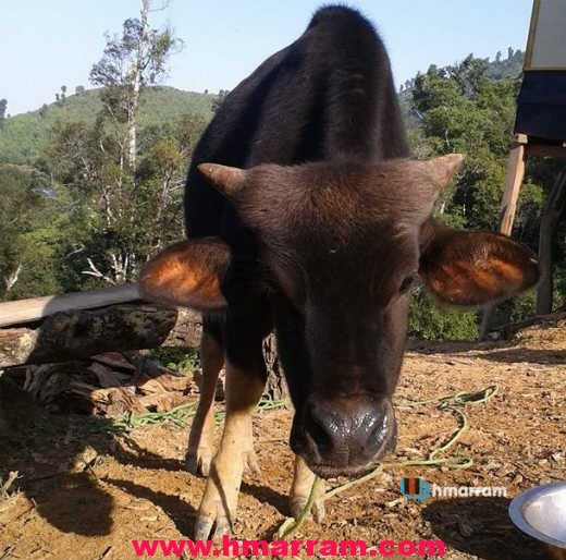 Mithun (Siel in Hmar) is one of the most important animals associated with the Hmar tribe. It used to be a medium of bride price in ancient times but their numbers have come down drastically in Hmar Hills. There are just a few ones left in Parvachawm village. Photo contributed by Lts Tusing