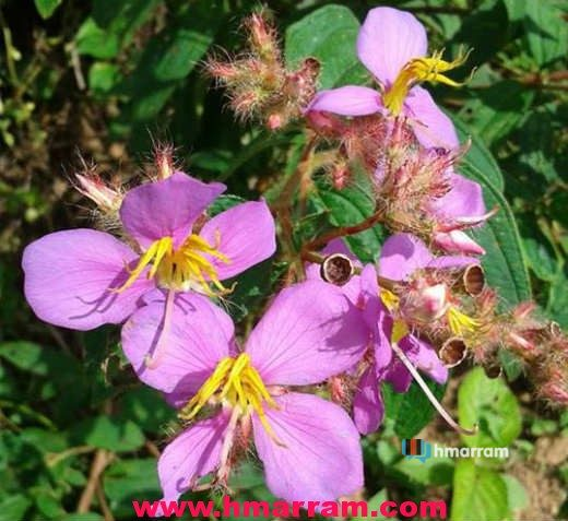 'Hmurkung' plant blossoms in Hmar Hills. It blooms during the winter season and the fruit which is violet in colour is sweet making it a favourite among kids. Photo contributed by Lts Tusing