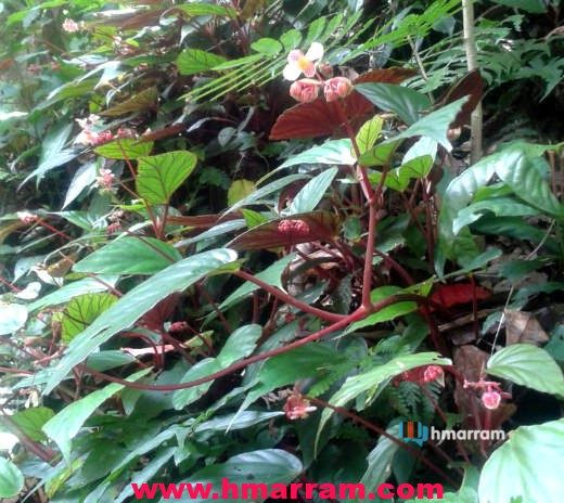 Changchaldawn is a short plant found in Hmar Hills. It is sour and edible and children are very fond of it. (We need more information on this plant/shrub. Please send it to lalmalsawm@yahoo.com ) Photo contributed by Lts Tusing.