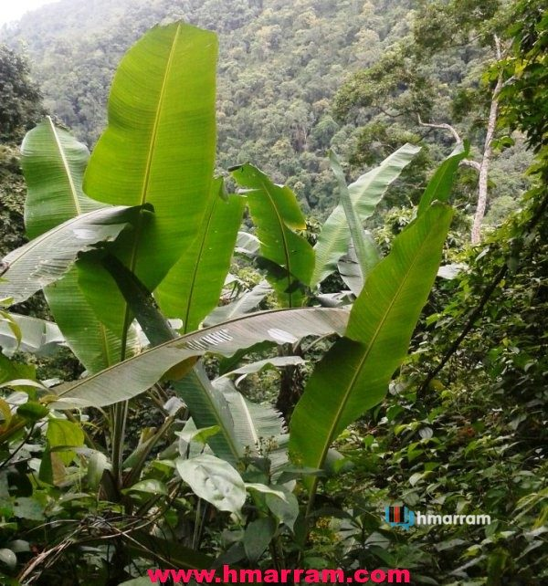 Wild plantain leaves in Hmar Hills