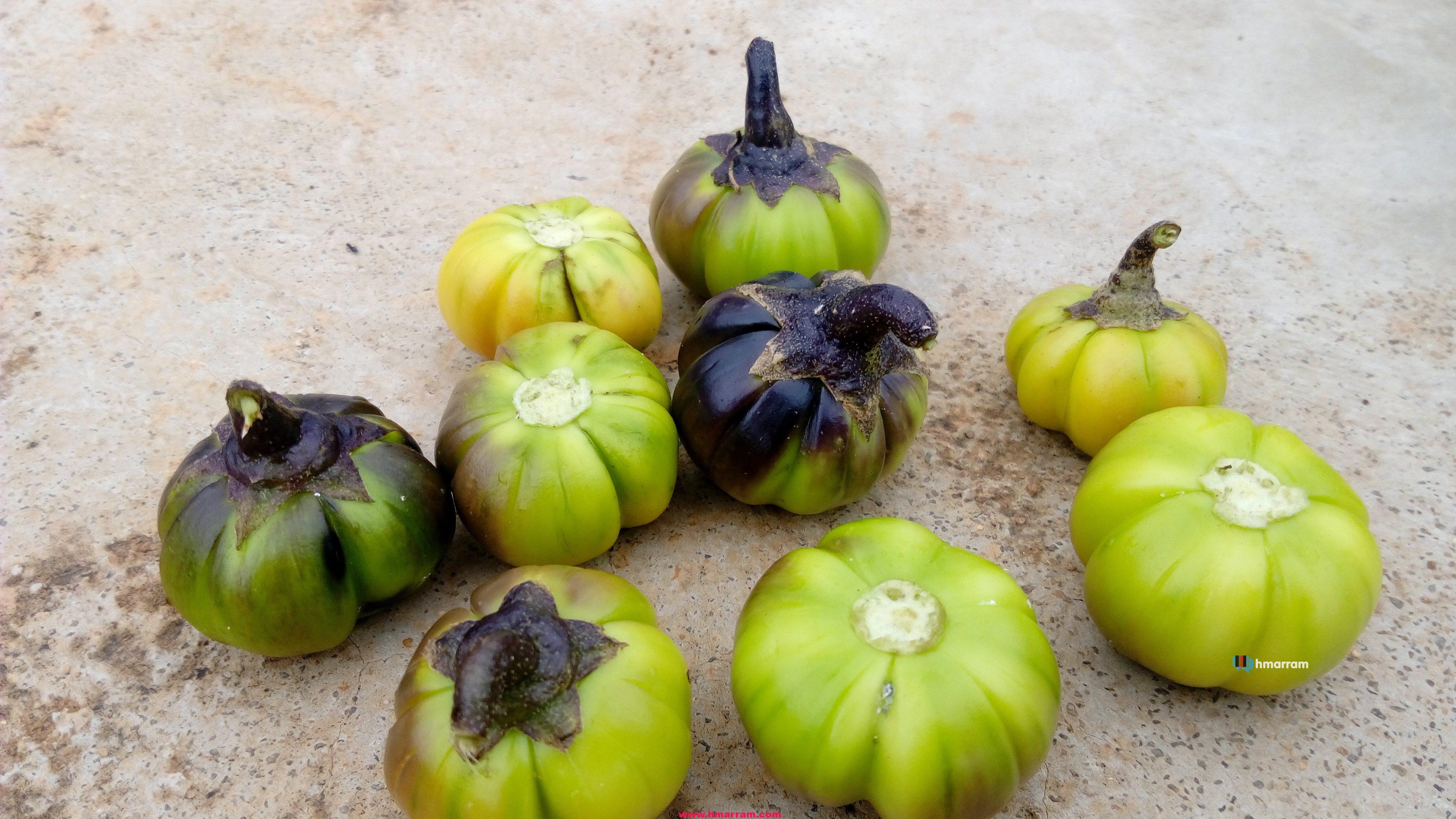 Mantakha Plant aka Bitter Brinjal